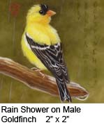 Rain Shower on Male Goldfinch c