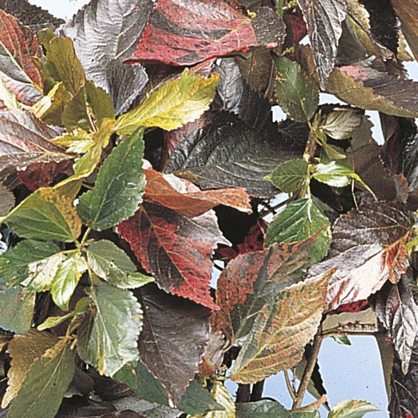 Copperleaf Acalypha Wilkesiana My Garden Life
