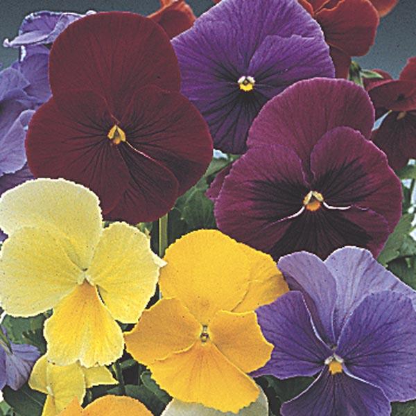 Perennial Pansy Viola X Wittrockiana My Garden Life