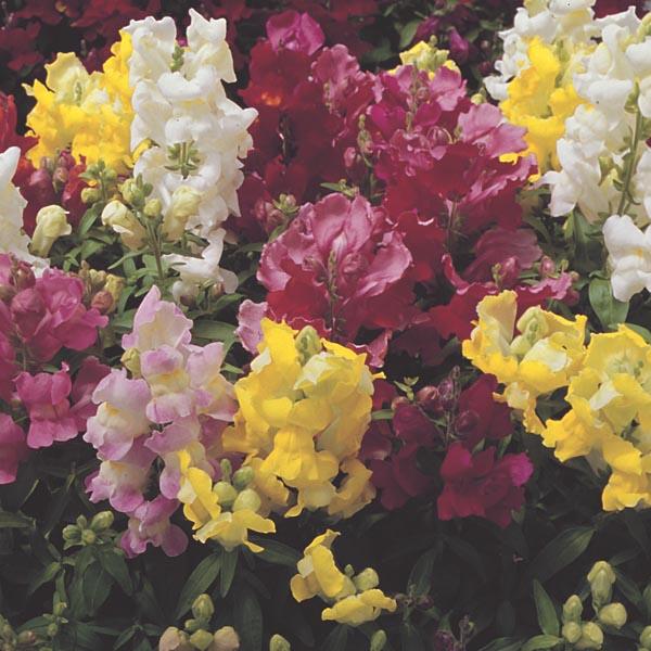 Dwarf Snapdragon Antirrhinum Majus My Garden Life