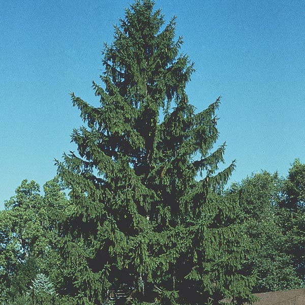Norway Spruce Picea Abies My Garden Life