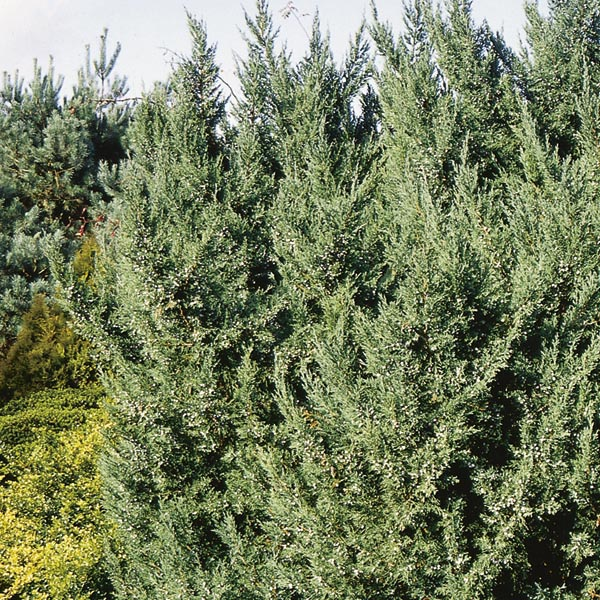 Chinese Juniper 'Blue Point' (Juniperus chinensis) | My Garden Life