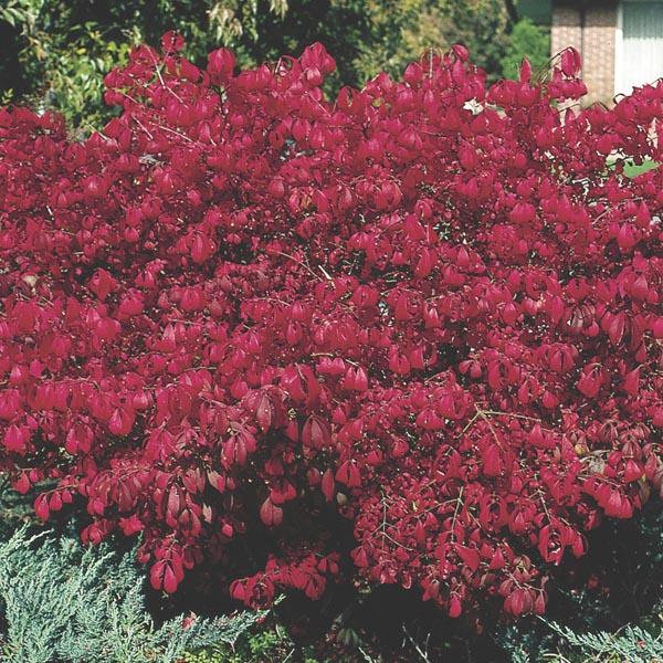 Dwarf Burning Bush Compactus Euonymus Alatus My