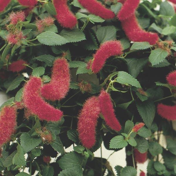 Dwarf Chenille Plant Firetail Acalypha Pendula My Garden Life