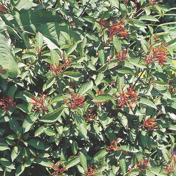 Garden Bush: Firebush (Hamelia Patens)
