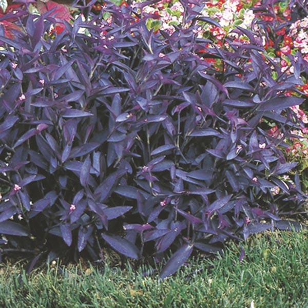 purple heart wandering jew tradescantia pallida my garden life. Black Bedroom Furniture Sets. Home Design Ideas