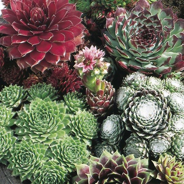 Hen /& Chicks 6 Varieties Of Sempervivum Plants House Leeks Alpine Rockery