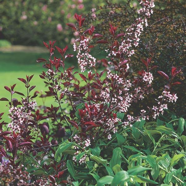 Purpleleaf Sand Cherry Purpleleaf Plum Prunus X Cistena My