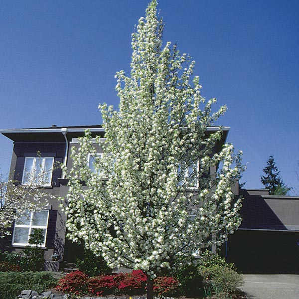 Flowering Pear, Callery Pear 'Cleveland Select' (Pyrus