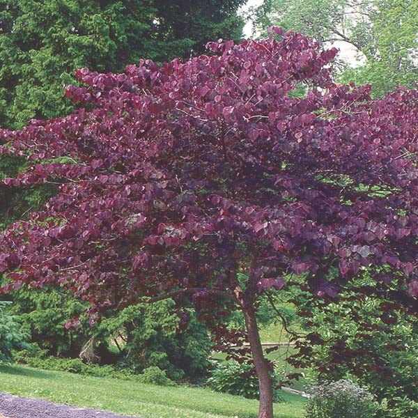 Redbud Forest Pansy Cercis Canadensis My Garden Life