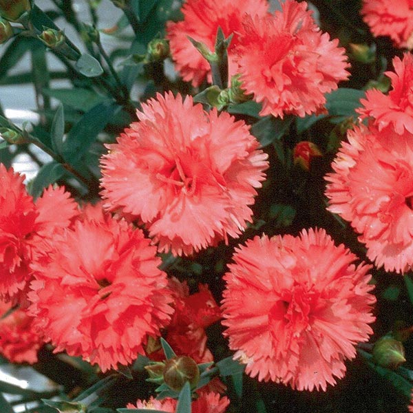 Hardy Carnation Garden Spice Series Dianthus Caryophyllus My
