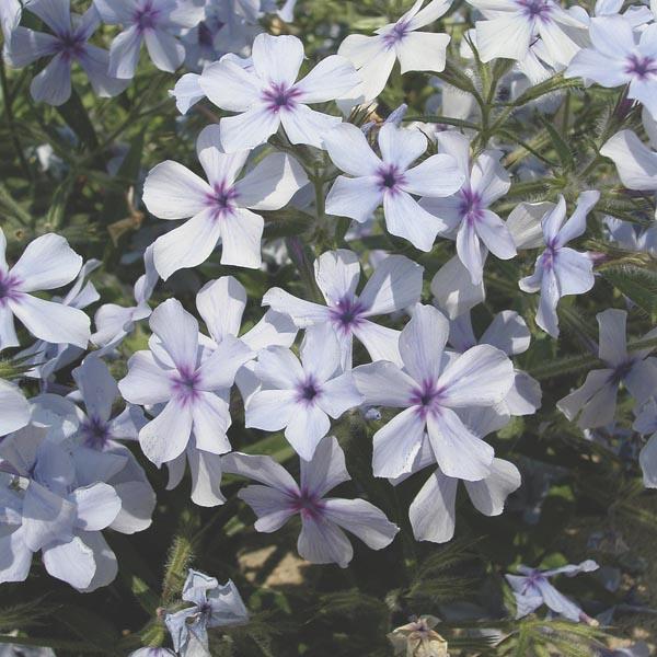 Woodland Phlox Chattahoochee Phlox Divaricata My Garden Life