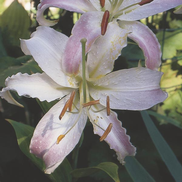 Oriental Lily Indoors Lilium Orientalis My Garden Life