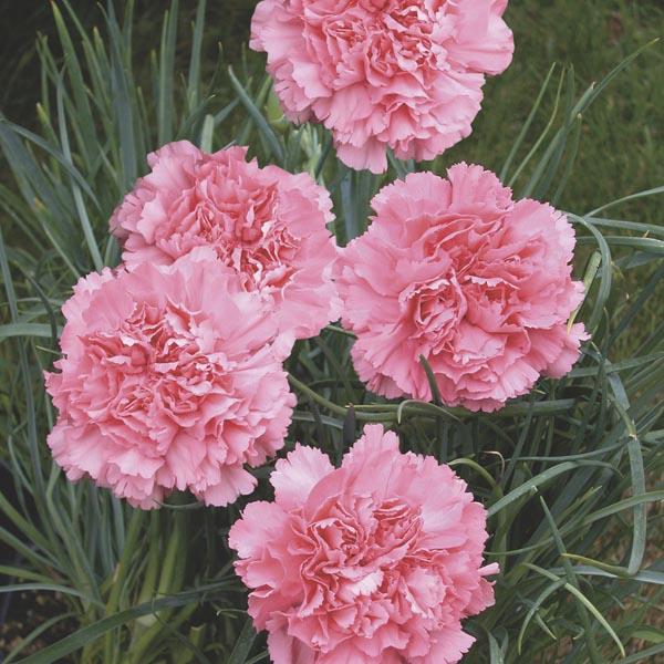 Carnation Dianthus Caryophyllus My Garden Life