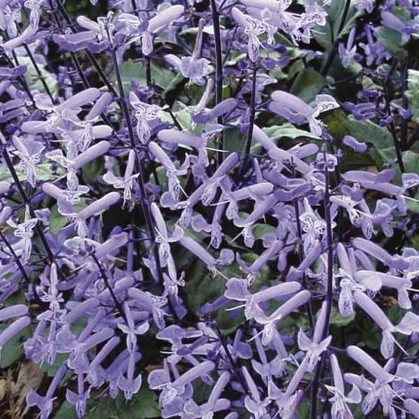 Plectranthus Mona Lavender Plectranthus Hybrid My Garden Life