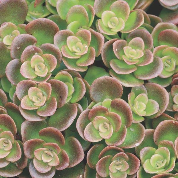 Sedum Tetractinum /'Coral Reef/'