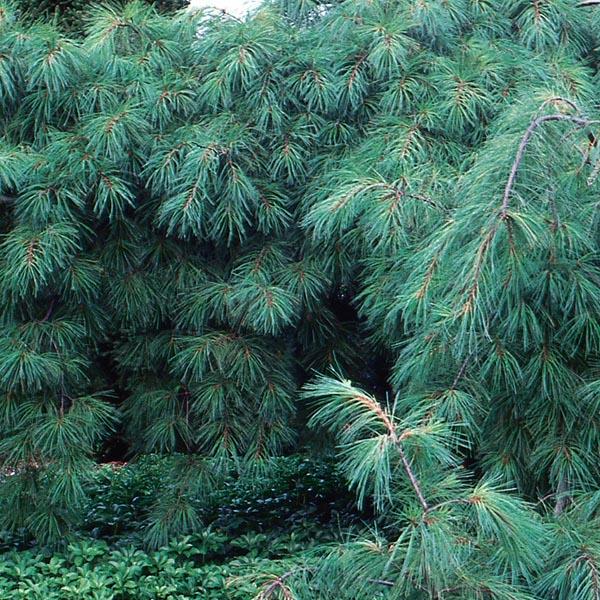 Weeping White Pine Pendula Pinus Strobus My Garden Life
