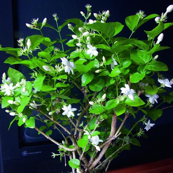 Arabian Jasmine Maid Of Orleans Jasminum Sambac My