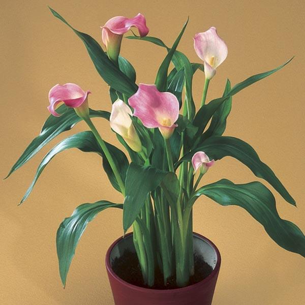 Calla Lily Indoors Zantedeschia Rehmannii My Garden Life