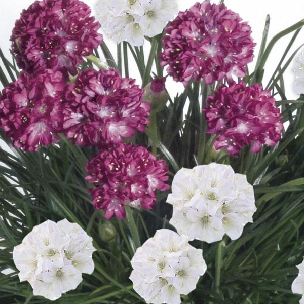 Armeria Morning Star Thrift Seed Deep Rose Pink Perennial Frost Hardy Easy Grow