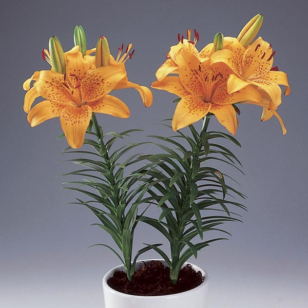 Asiatic Lily Indoors Lilium Hybrid My Garden Life