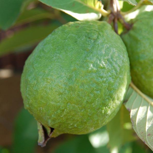 Guava, Apple Guava (Psidium guajava) | My Garden Life