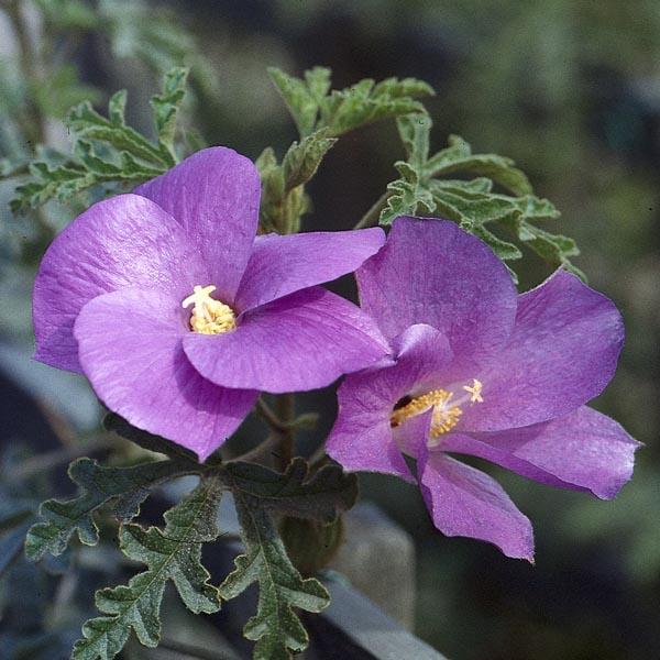Hibiscus Care: Blue Hibiscus (Alyogyne Huegelii)