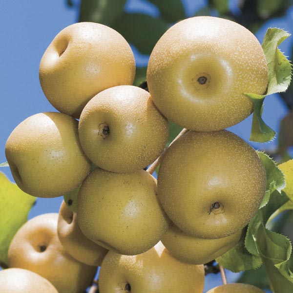 Pear Orient Pyrus Hybrid My Garden Life