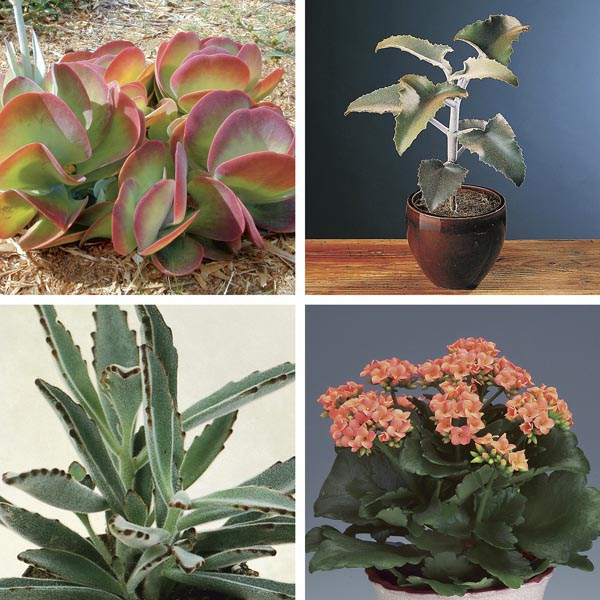 kalanchoe species indoors kalanchoe species my garden life. Black Bedroom Furniture Sets. Home Design Ideas