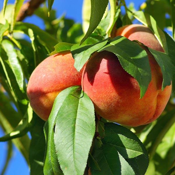 Peach 'Fay Elberta' (Prunus persica)   My Garden Life