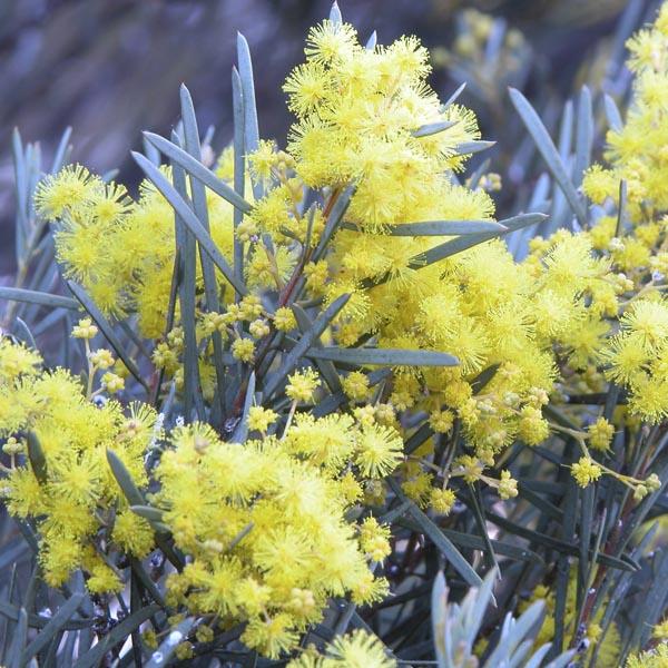 Australian Willow Acacia Salicina My Garden Life