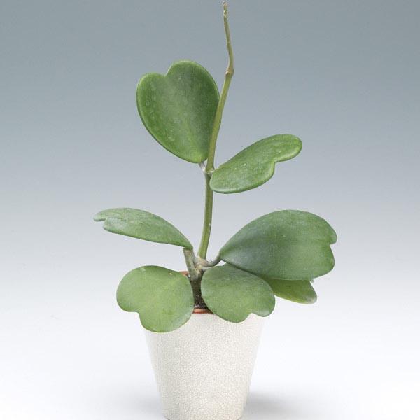 Sweetheart Hoya Hoya Kerrii My Garden Life