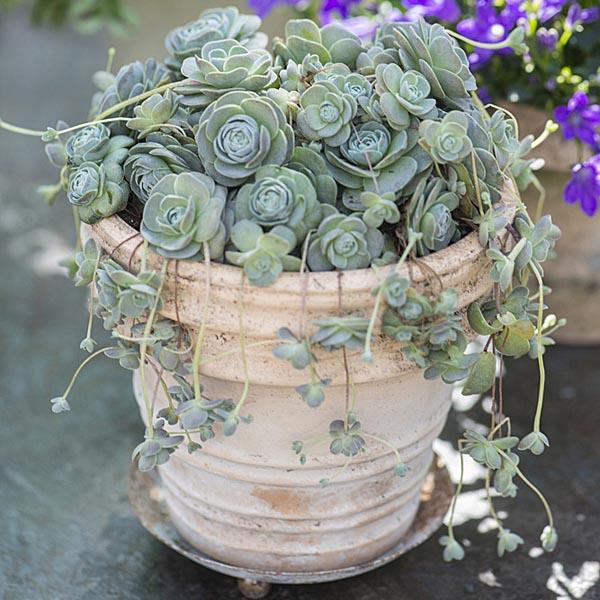 Chinese Dunce Cap Orostachys Iwarenge My Garden Life