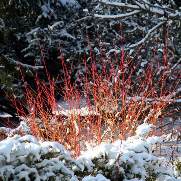 Coral Red Twig Dogwood (Cornus alba)   My Garden Life