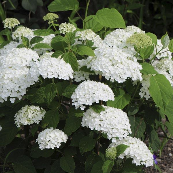 Smooth Hydrangea Incrediball® (Hydrangea arborescens)   My