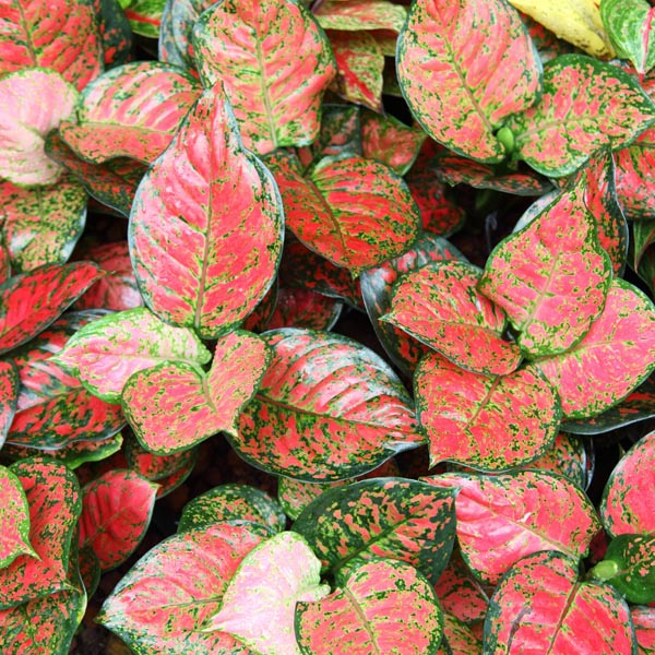 6588_42 Red Aglaonema Houseplants on red gerbera, red crotons, red fittonia, red house plants, red camellia, red acacia, red allamanda, red flowering plants, red narcissus, red photinia, red pineapple, red anthurium, red zebra plant, red peace lily, red tropical plants names, red angelonia, red aster, red variegated plants, red wandering jew, red anemone,