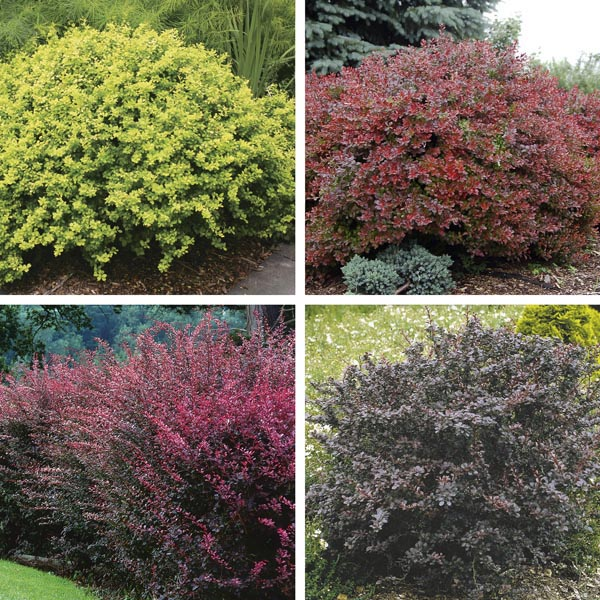 Boxwood (Buxus Species)