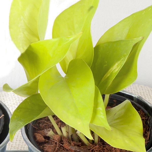 Pothos 'Neon' (Epipremnum pinnatum)   My Garden Life