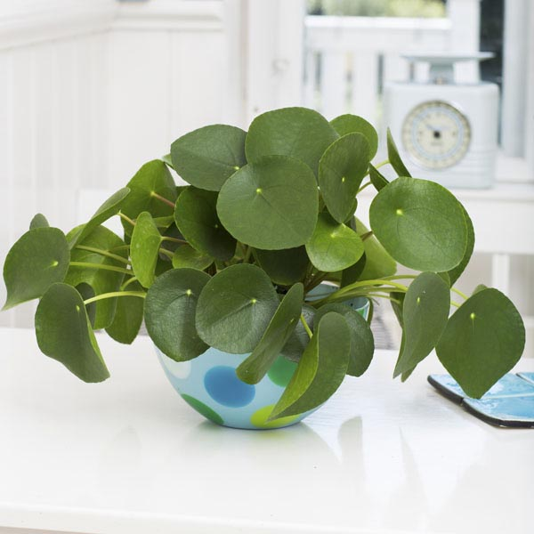 Chinese Money Plant, Pancake Plant, Missionary Plant (Pilea
