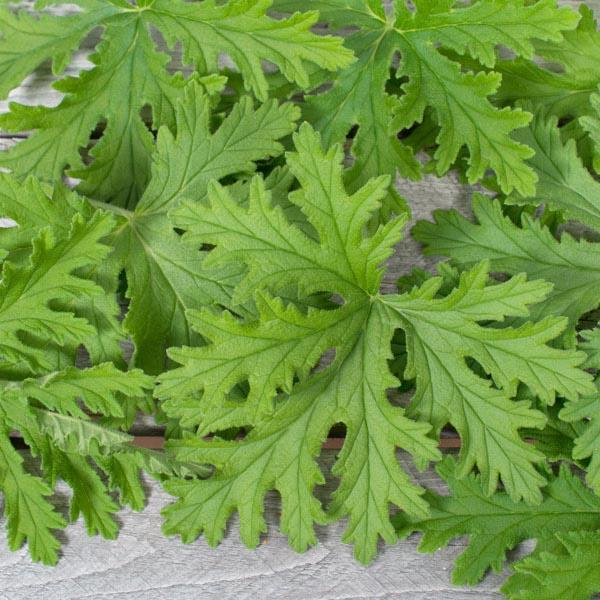 Scented Geranium Citronella Pelargonium Graveolens My Garden