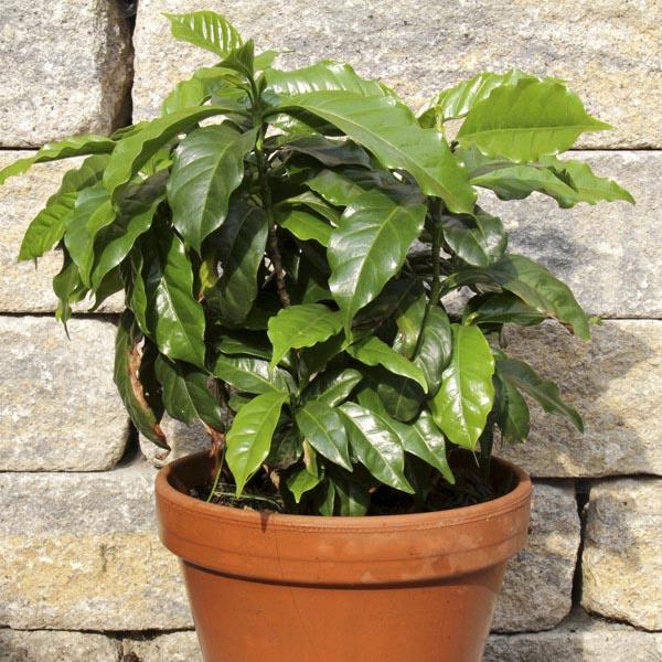 Arabian Coffee Tree Indoors (Coffea arabica) | My Garden Life