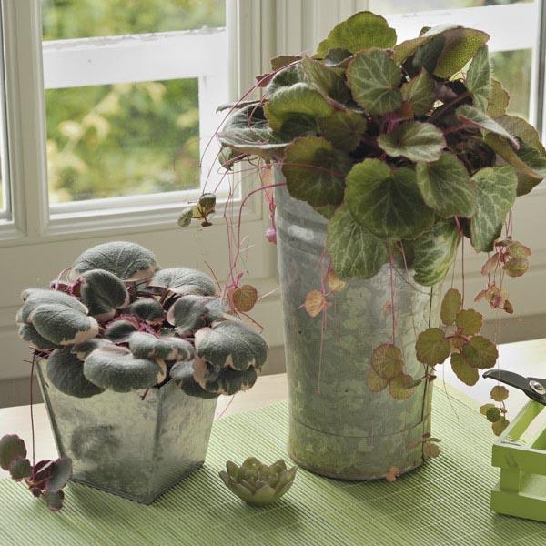 Strawberry Begonia Indoors Saxifraga Stolonifera My Garden Life