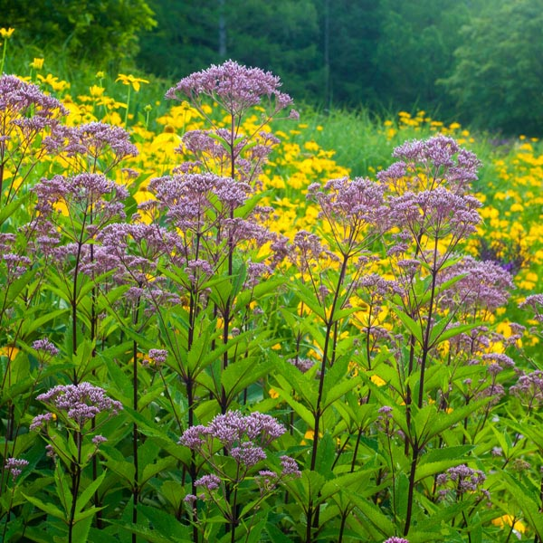 Joe Pye Weed Eupatorium Purpureum My Garden Life