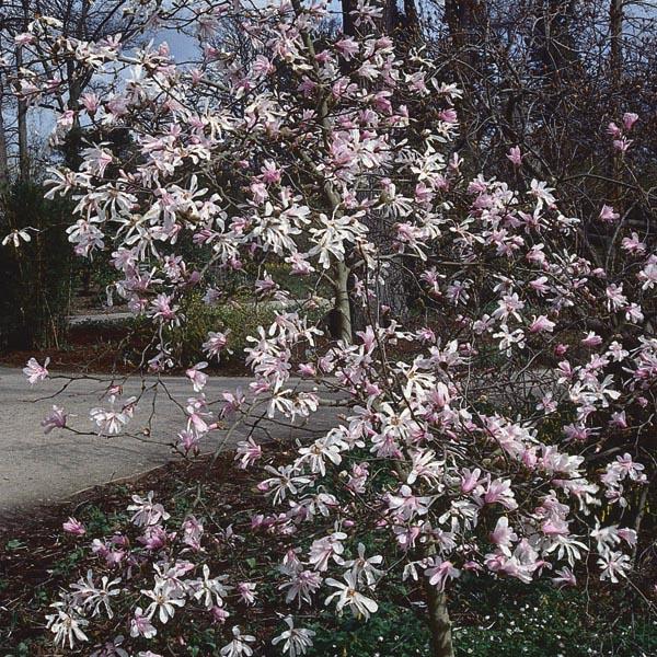 Magnolia Leonard Messel Magnolia X Loebneri My Garden Life