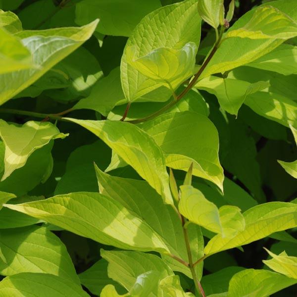 Dogwood Garden Glow Cornus Hessei My Garden Life