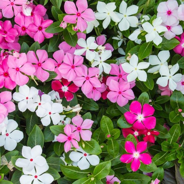 Vinca (Catharanthus roseus) | My Garden Life