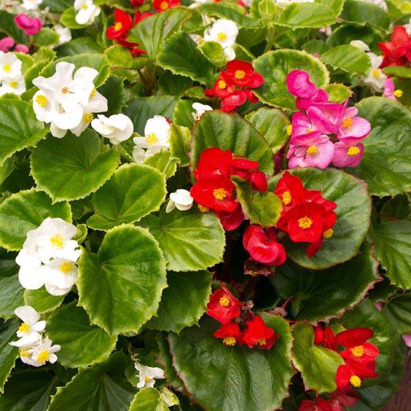 Wax Begonia Begonia Semperflorens My Garden Life