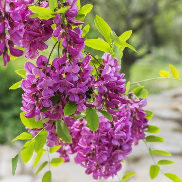 Black Locust False Acacia Purple Robe Robinia Pseudoacacia My