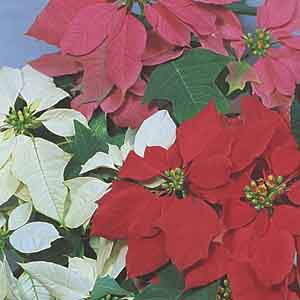 Poinsettia Indoors