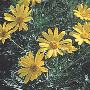 Annual African Bush Daisy